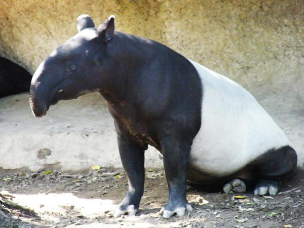 地球各地的马来貘大约有三千两百只,其中的两百只是在动物园内,剩下